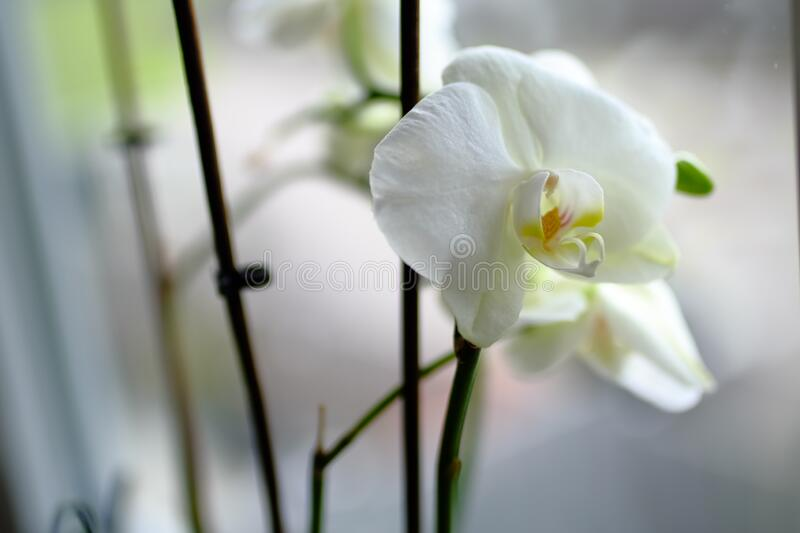 Closeup shot of a beautiful white-petaled moth orchid flower on a blurred background. A closeup shot of a beautiful white-petaled moth orchid flower on a blurred stock photos