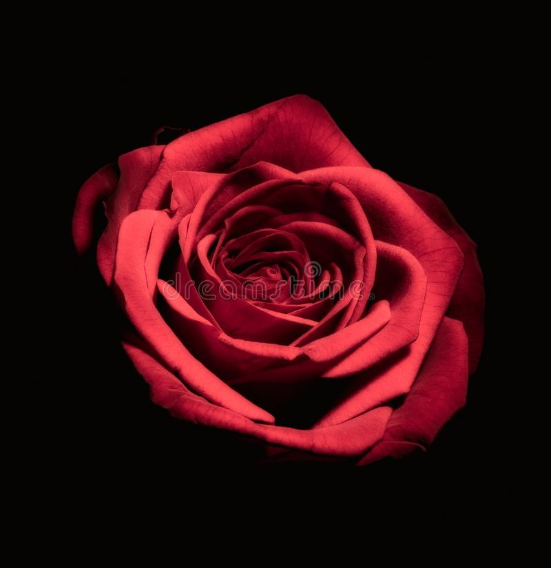 44 977 Red Rose Black Background Photos Free Royalty Free Stock Photos From Dreamstime
