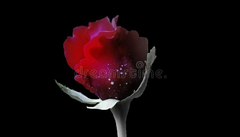 A closeup shot of a bloomed red rose on a black background.Red rose flower with full black background , with space for text. A closeup shot of a bloomed red rose stock image