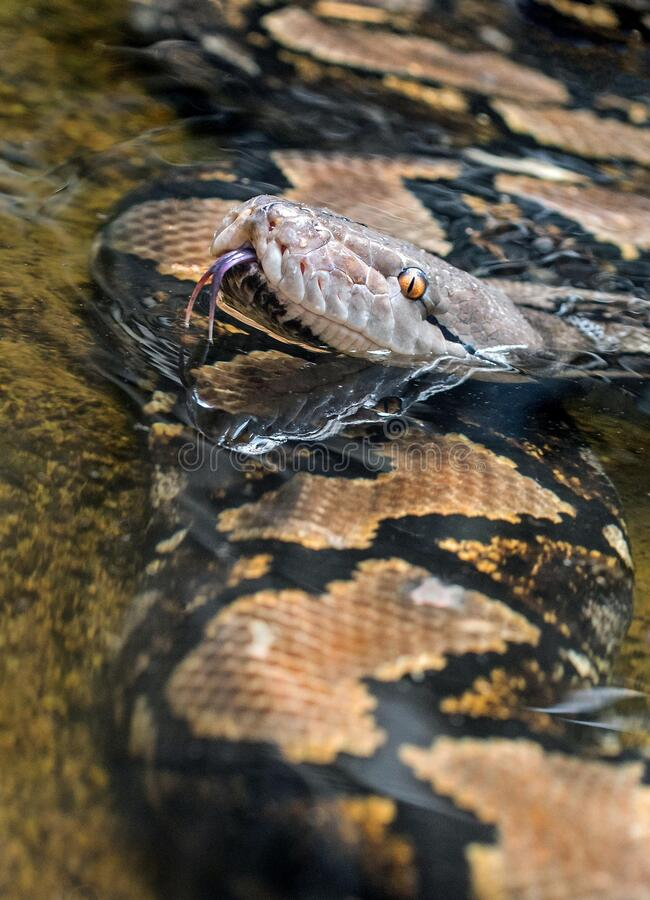 Closeup shot of brown and black snake with tongue out. A closeup shot of brown and black snake with tongue out stock photos