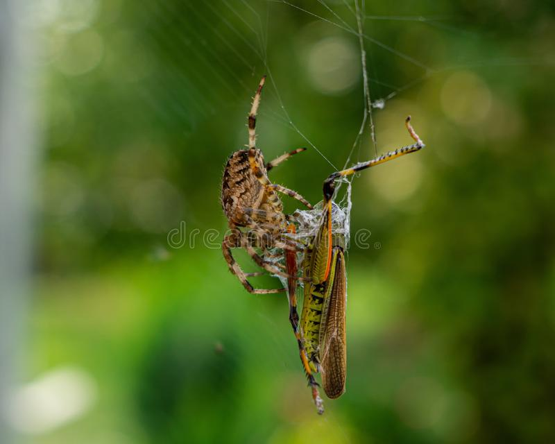 Closeup shot of a brown spider and a green cricket on a spider web with a blurry background. A closeup shot of a brown spider and a green cricket on a spider web royalty free stock image