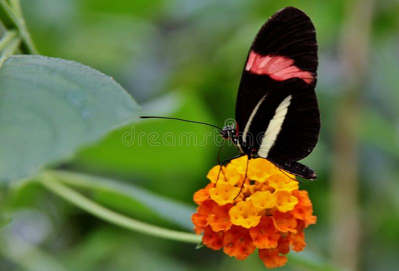 Closeup shot of a butterfly with black wings, red and white stripes, resting on a yellow flower stock photos