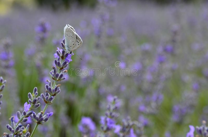 Closeup shot of a butterfly in lavender field stock image