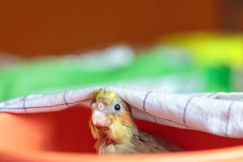 Closeup shot of a cockatiel bird peeping out from under the towels with blurred background royalty free stock image