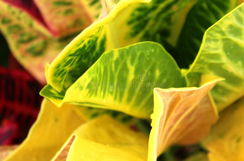 A closeup shot of a colorful croton leaves . stock photography