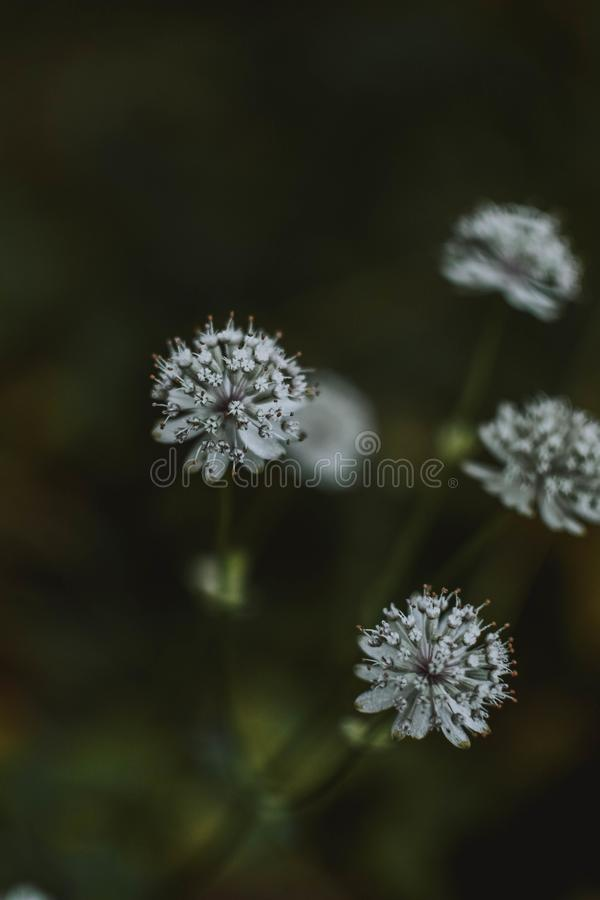 Closeup shot of Cow Parsley flowers in a grassy forest stock image