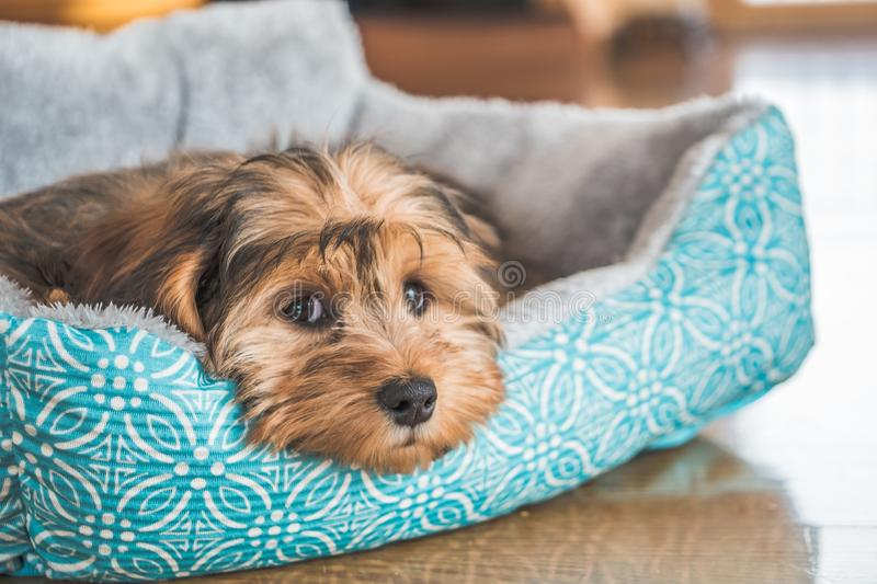 Closeup shot of a cute adorable sad-looking domestic Shih-poo type of dog indoors royalty free stock photo