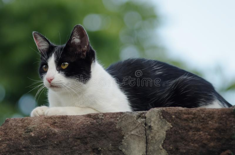 Closeup shot of a cute black and white tuxedo cat lying on a stone. Perfect for a cute wallpaper. A closeup shot of a cute black and white tuxedo cat lying on a royalty free stock images