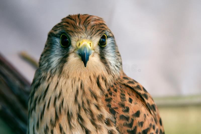 Closeup shot of a cute brown peregrine falcon with black spots stock image