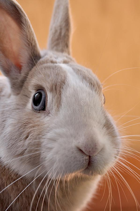 Closeup shot of a cute bunny with an orange background royalty free stock images