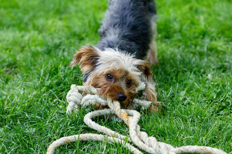 Closeup shot of a cute dog biting and pulling on a rope in a green garden. A closeup shot of a cute dog biting and pulling on a rope in a green garden stock photos