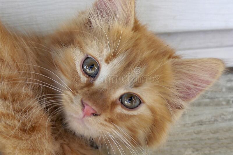 Closeup shot of a cute little ginger kitten with grey eyes lounging on the porch. A closeup shot of a cute little ginger kitten with grey eyes lounging on the royalty free stock images