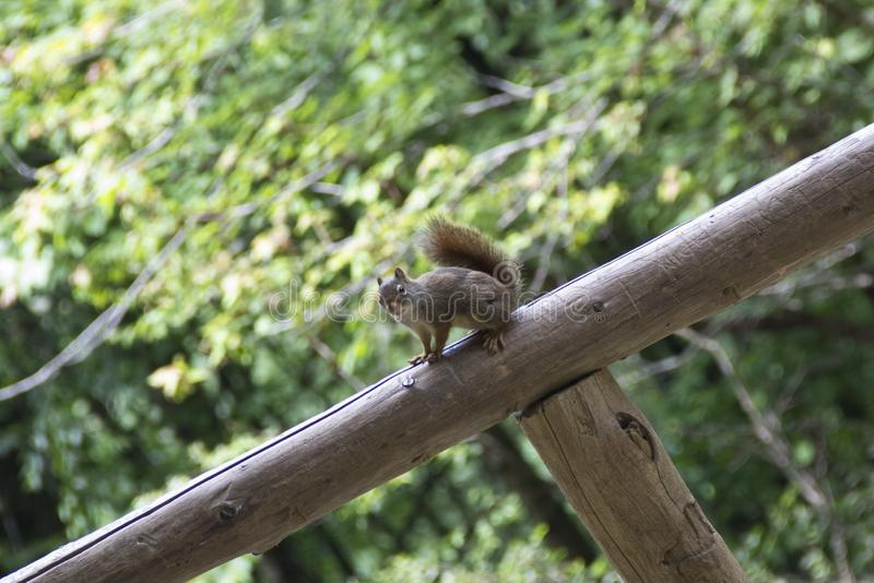 A closeup shot of a cute squirrel sitting on a tree log with beautiful green trees in the background royalty free stock image