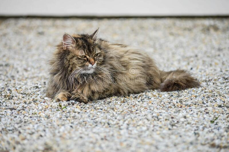Closeup shot of a domestic long-haired cat lying on the ground. A closeup shot of a domestic long-haired cat lying on the ground stock images