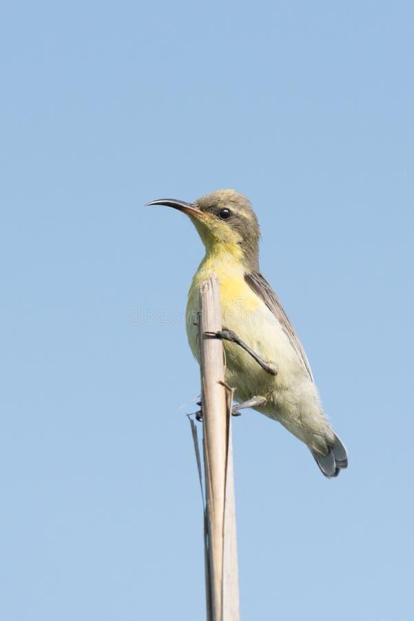 Female purple sunbird perched. Closeup shot of exotic bird female purpose sunbird sitting on a stem and watching stock image