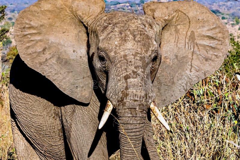 Elephant Ears Stock Photos Download 13 956 Royalty Free Photos
