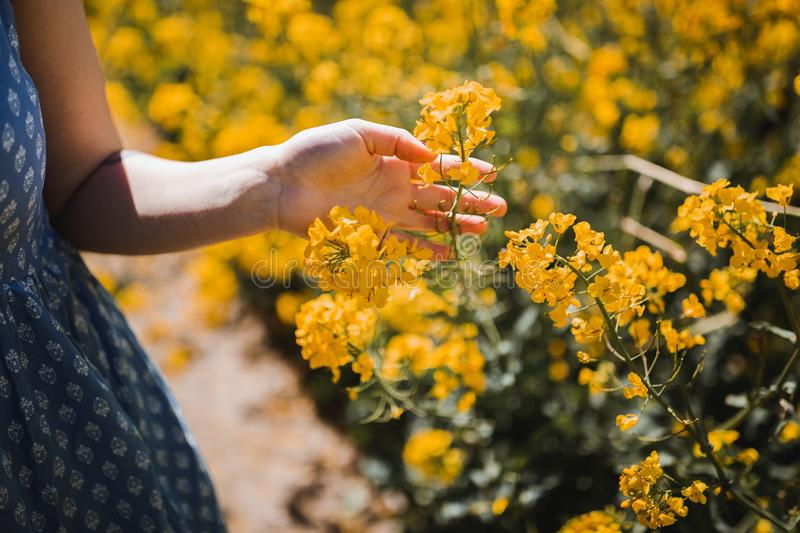 Closeup shot of a female touching the beautiful yellow-petaled flowers during daytime. A closeup shot of a female touching the beautiful yellow-petaled flowers stock photography