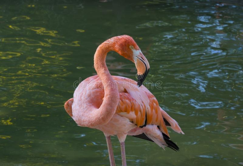 Closeup shot of a flamingo looking at the camera with blurred water in the background stock photos