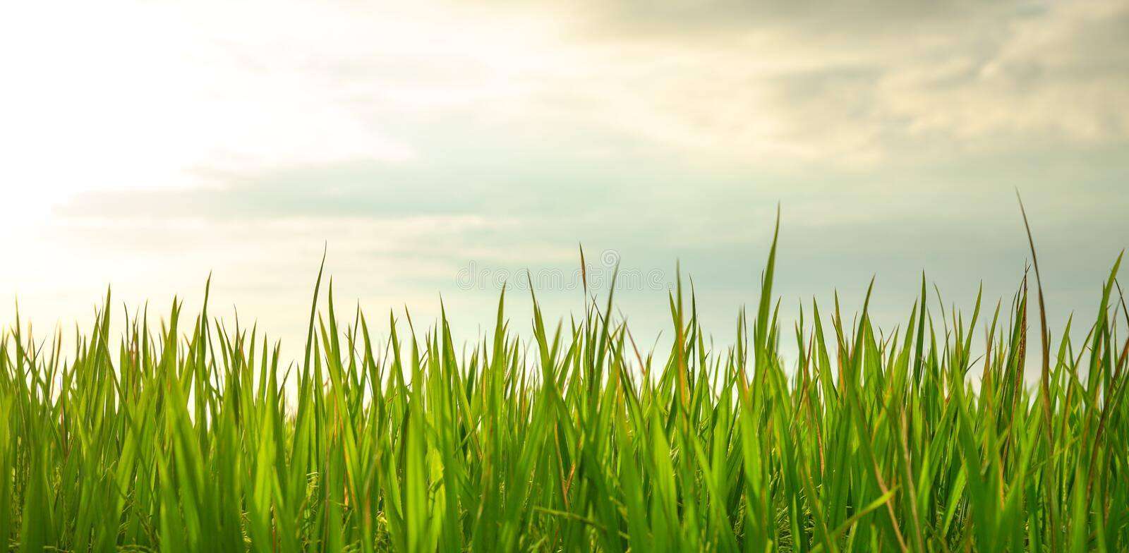 Closeup shot of fresh green rice paddy field stock photo