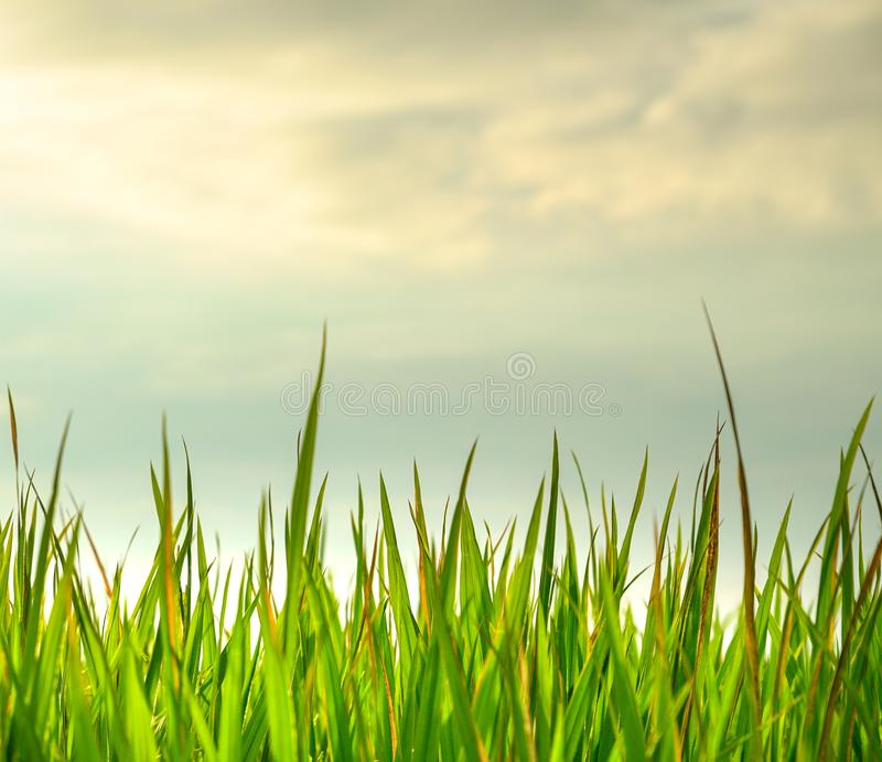 Closeup shot of fresh green rice paddy field royalty free stock photos