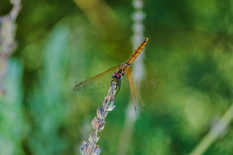 Closeup shot of a golden dragonfly on a plant with a blurred natural background royalty free stock photography
