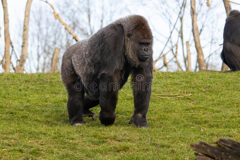 Closeup shot of a gorilla walking while contemplating on a field of green grass in a zoo. A closeup shot of a gorilla walking while contemplating on a field of royalty free stock photo