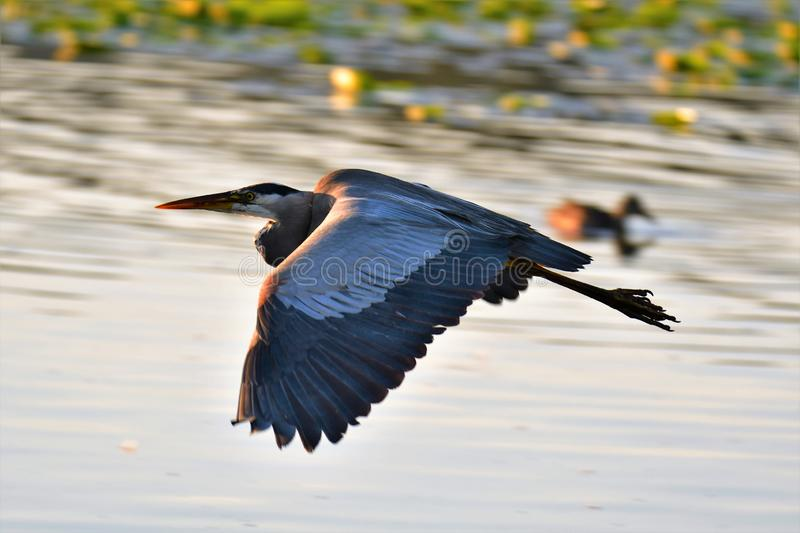 A closeup shot of a Great Blue Heron flying. stock image