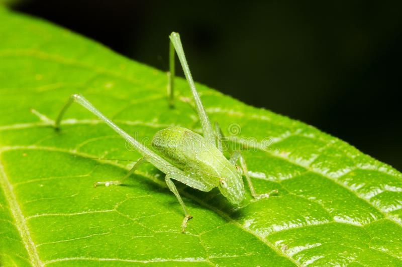 Closeup shot of a green grass hopper on a leaf with a dark background. A closeup shot of a green grass hopper on a leaf with a dark background royalty free stock image