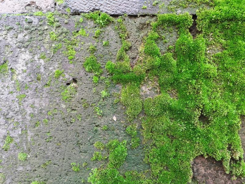 Closeup shot of green moss on a gray stone for background or wallpaper. A closeup shot of green moss on a gray stone for background or wallpaper stock images