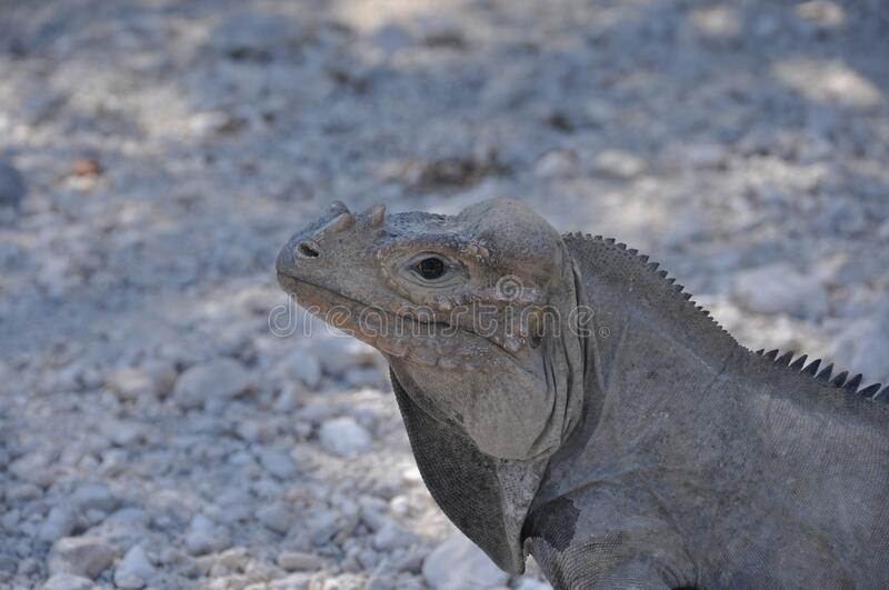 Closeup shot of a grey iguana on the ground. A closeup shot of a grey iguana on the ground royalty free stock images
