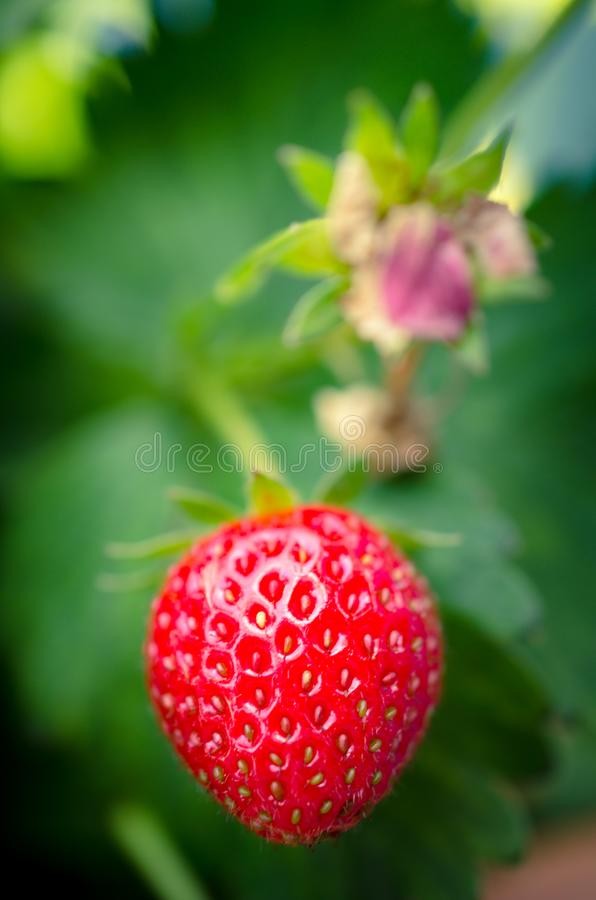 Closeup red and green strawberry with blurry background. Closeup shot of growing strawberry with blurry bokeh background stock photos