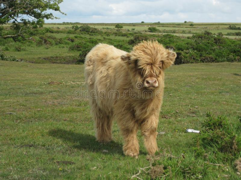 Closeup shot of a hairy cow standing in a grassy field with a blurred background at daytime. A closeup shot of a hairy cow standing in a grassy field with a royalty free stock photos