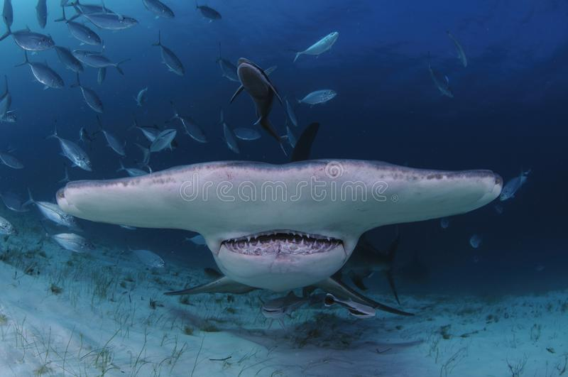 Closeup Shot of Hammerhead Shark Swimming towards You in Clear Waters of Bahamas royalty free stock image