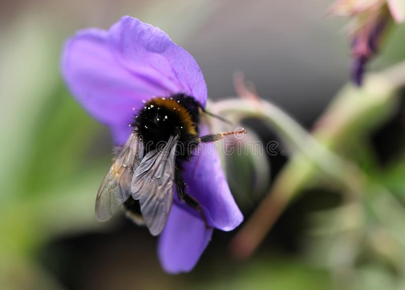 Closeup shot of a honeybee collecting nectar on a purple-petaled flower with a blurred background. A closeup shot of a honeybee collecting nectar on a purple royalty free stock photo