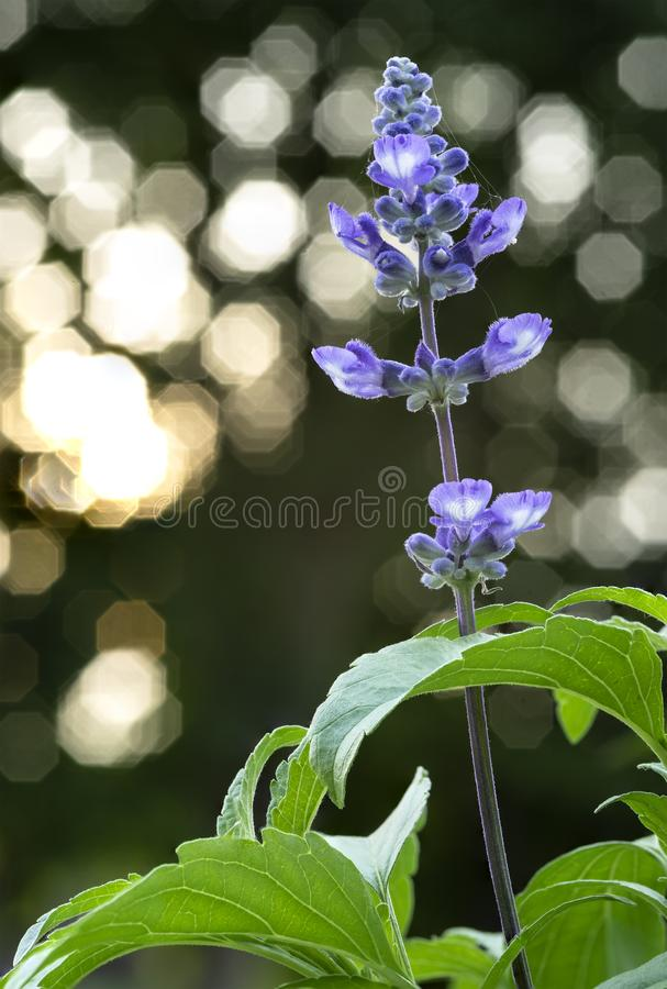 A Closeup Shot of Lavender with Octagonal Light Bokeh at Background stock photos
