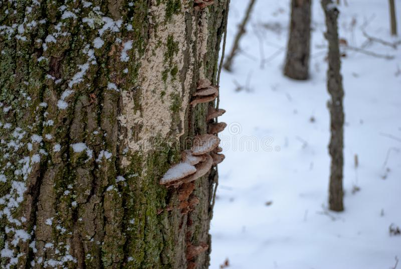 Mushrooms on mossy tree in winter stock photos