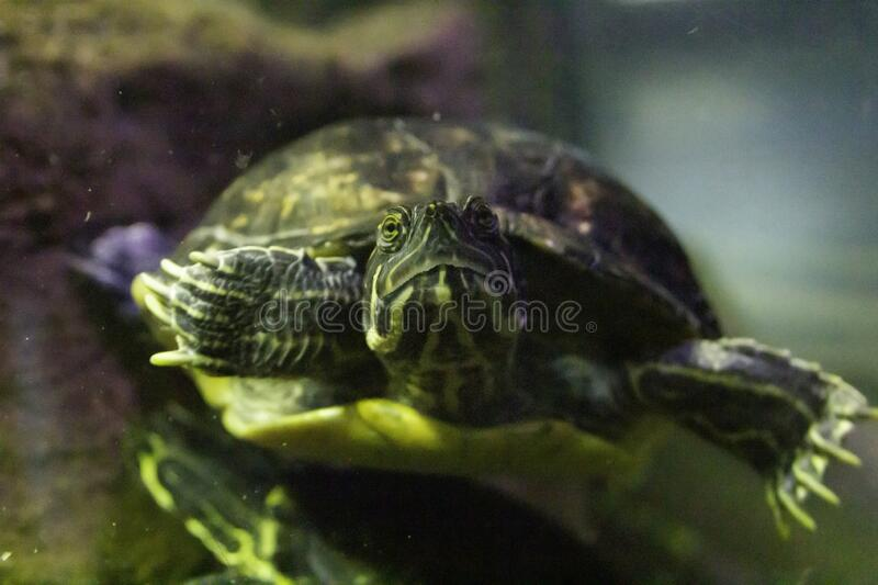Closeup shot of a mud turtle swimming in the water. A closeup shot of a mud turtle swimming in the water stock photo