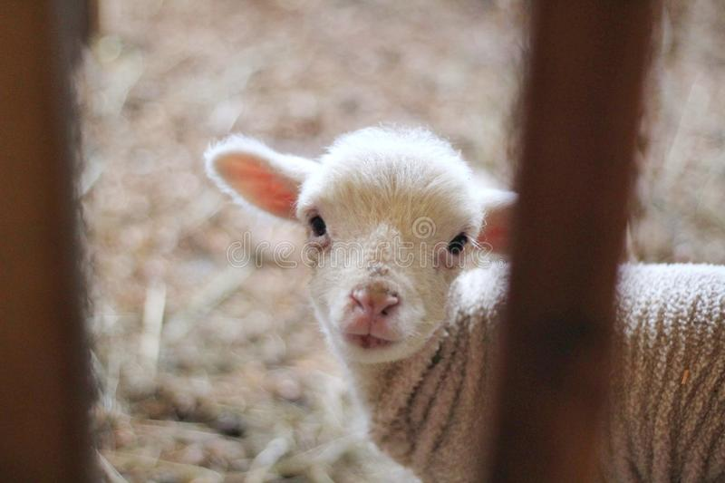 Closeup shot of newborn baby goat looking at the camera stock images