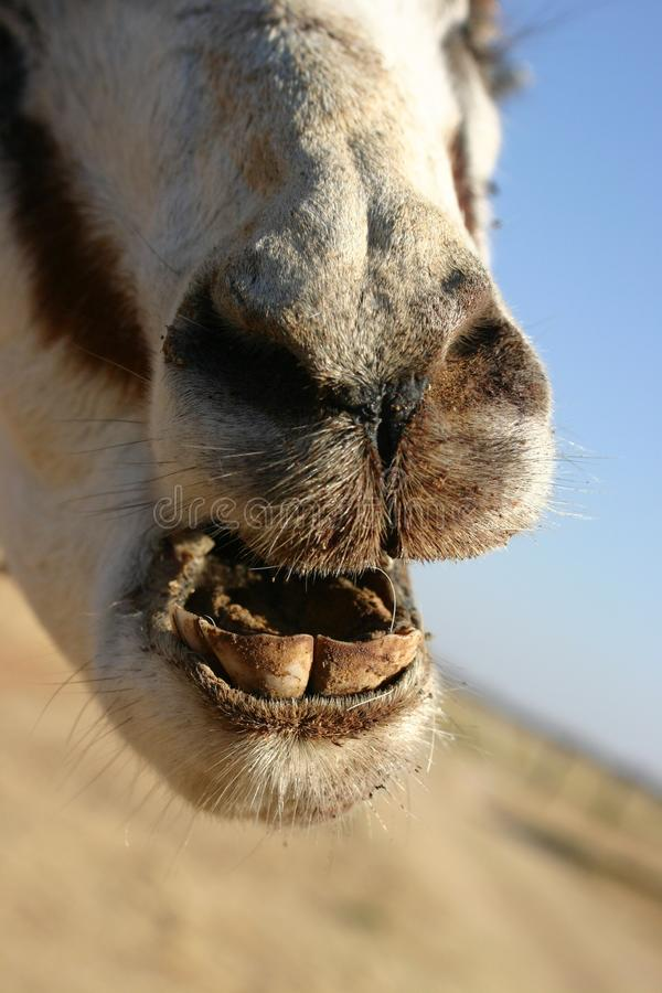 Closeup shot of an old Springbok, age is determined by the teeth stock photo