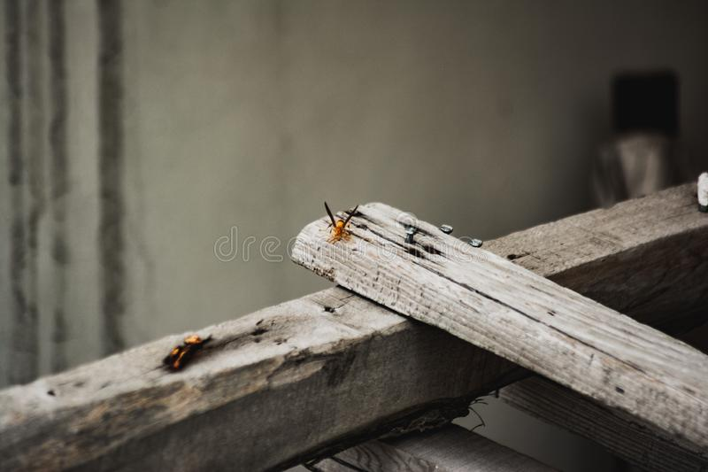 Closeup shot of an orange net-winged insect on a plank of gray wood royalty free stock images