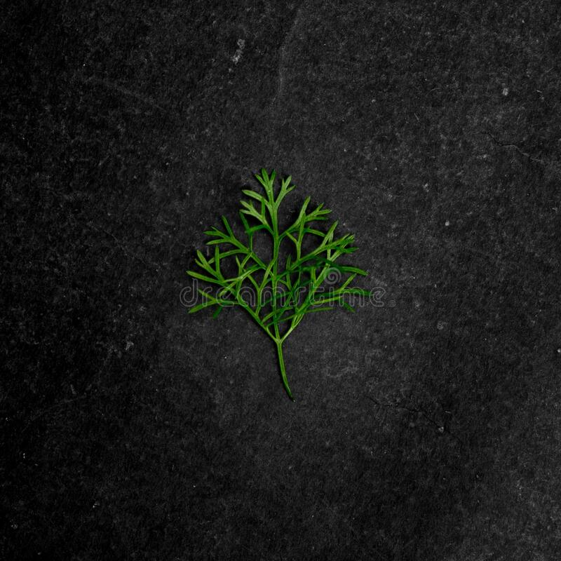 Closeup shot of a piece of a coriander leaf at the second stage of growth on a black surface. A closeup shot of a piece of a coriander leaf at the second stage royalty free stock images