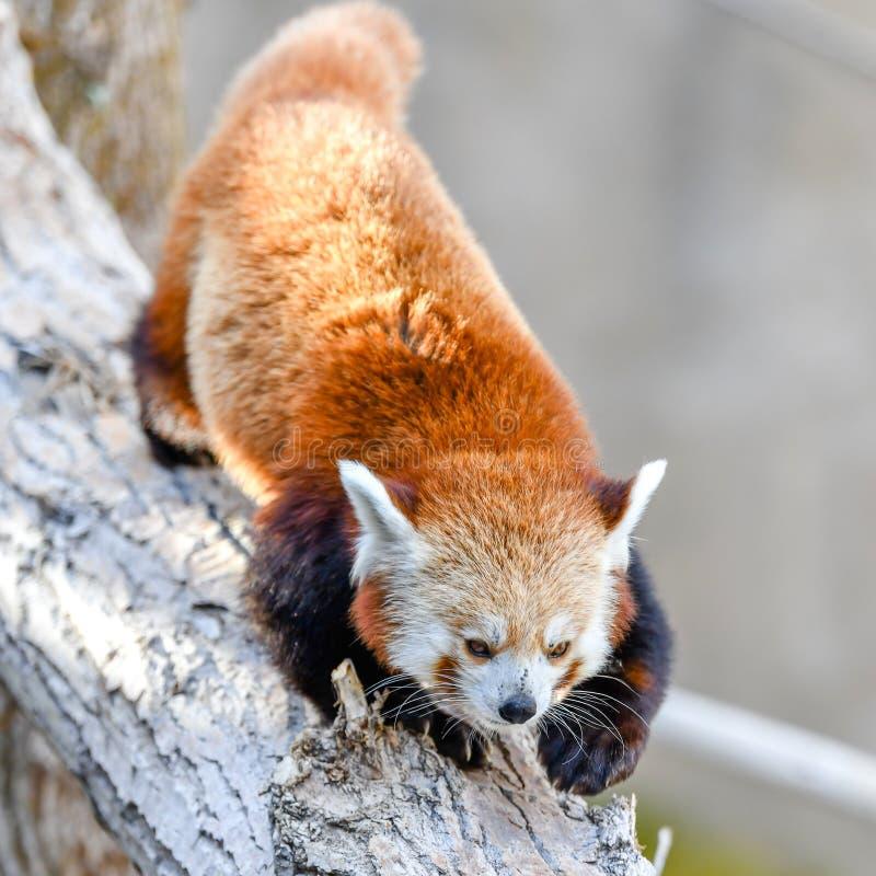 Closeup shot of a rare species of red panda climbing down a tree. A closeup shot of a rare species of red panda climbing down a tree stock photos