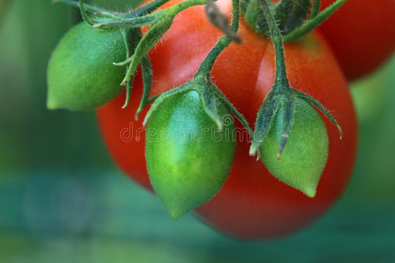 Closeup shot of a red and green tomato plant on a blurred background. A closeup shot of a red and green tomato plant on a blurred background royalty free stock images