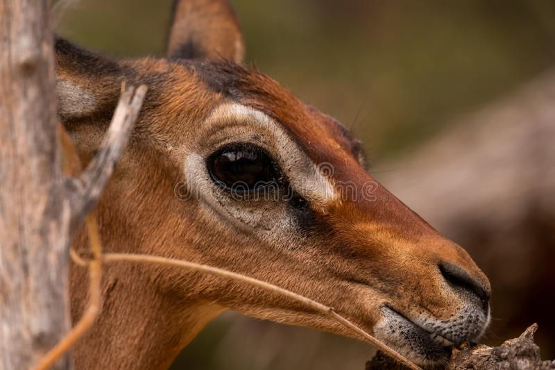 Closeup shot of a roe deer with the blurred background captured in Kenya, Nairobi, Samburu royalty free stock photos