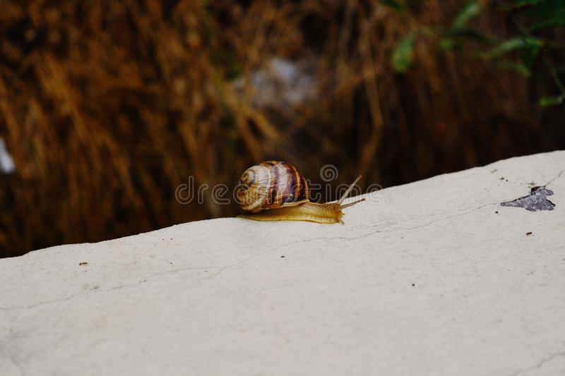 Closeup shot of a small snail with a brown shell gliding on the tip of a stone royalty free stock photography