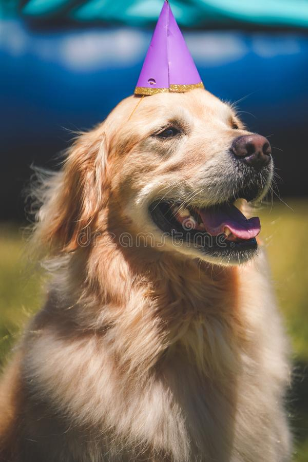 Closeup shot of a smiling cute Golden retrieve with birthday hat at golden gate park, SF CA royalty free stock images