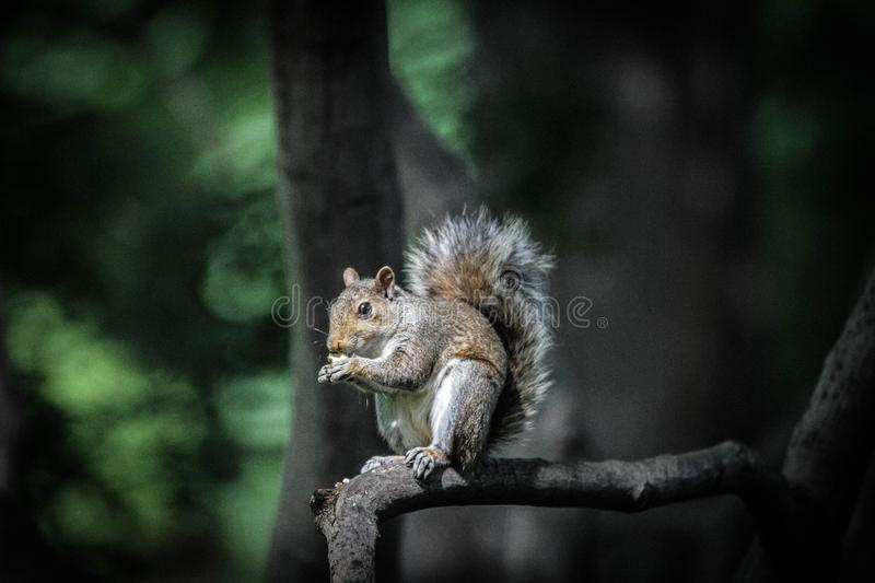 Closeup shot of a Squirrel standing on a tree branch eating with a blurred natural background. A closeup shot of a Squirrel standing on a tree branch eating with royalty free stock photo
