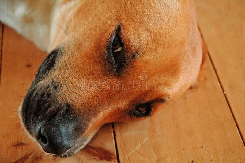 Closeup shot of a tired cute brown domestic dog laying on the wooden floor royalty free stock photos
