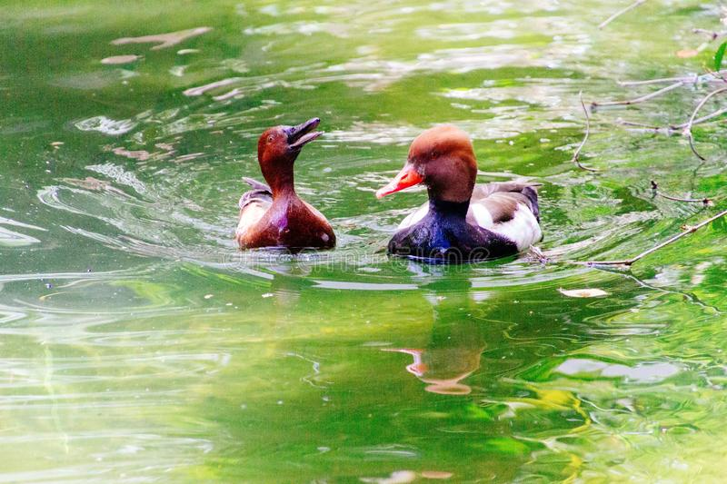 Closeup shot of two ducks swimming together in water royalty free stock photography
