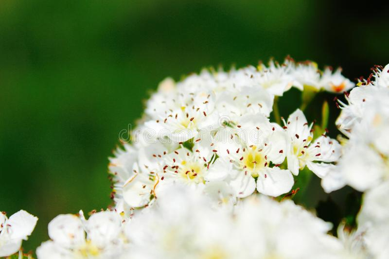 Closeup shot of a white flower blooming in a field with a green natural background royalty free stock photos